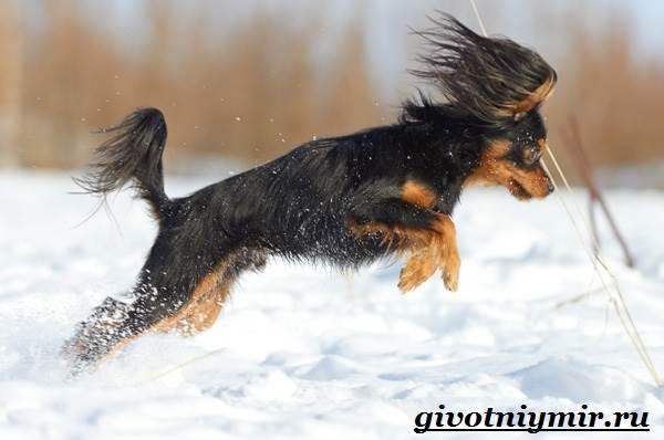 Русский-той-терьер-собака-Описание-особенности-уход-и-цена-русского-той-терьера-6