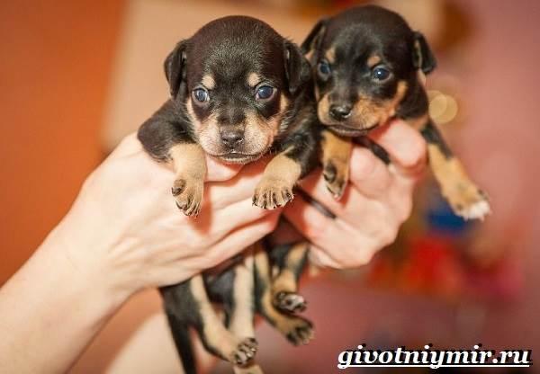 Русский-той-терьер-собака-Описание-особенности-уход-и-цена-русского-той-терьера-8