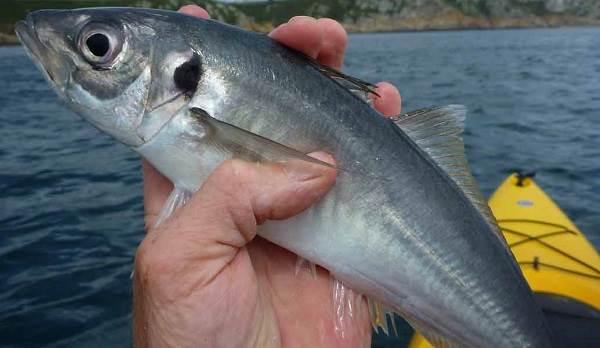 Ставрида-черноморская-рыба-Описание-особенности-и-среда-обитания-ставриды-1