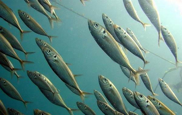Ставрида-черноморская-рыба-Описание-особенности-и-среда-обитания-ставриды-2