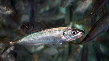 Ставрида черноморская рыба. Описание, особенности и среда обитания ставриды