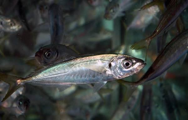 Ставрида-черноморская-рыба-Описание-особенности-и-среда-обитания-ставриды-3