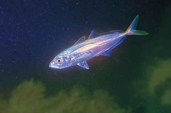 Ставрида-черноморская-рыба-Описание-особенности-и-среда-обитания-ставриды-4