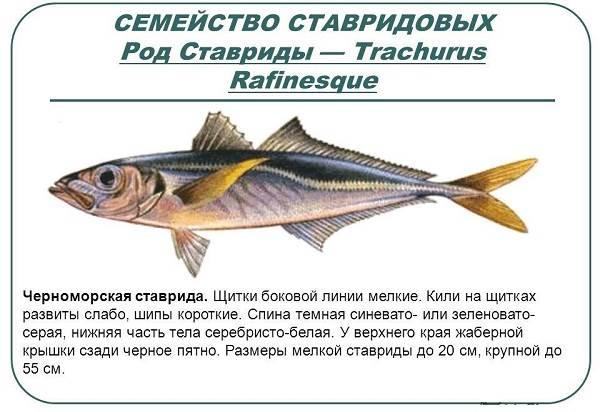 Ставрида-черноморская-рыба-Описание-особенности-и-среда-обитания-ставриды-8