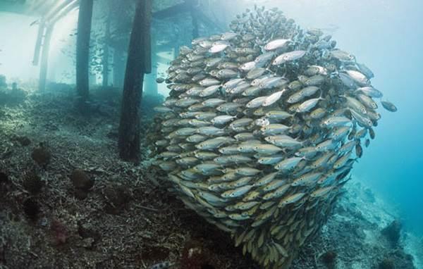 Ставрида-черноморская-рыба-Описание-особенности-и-среда-обитания-ставриды-9