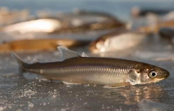 Корюшка-рыба-Описание-особенности-среда-обитания-и-виды-корюшки-6