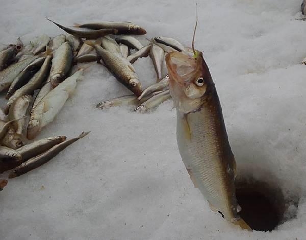 Корюшка-рыба-Описание-особенности-среда-обитания-и-виды-корюшки-8