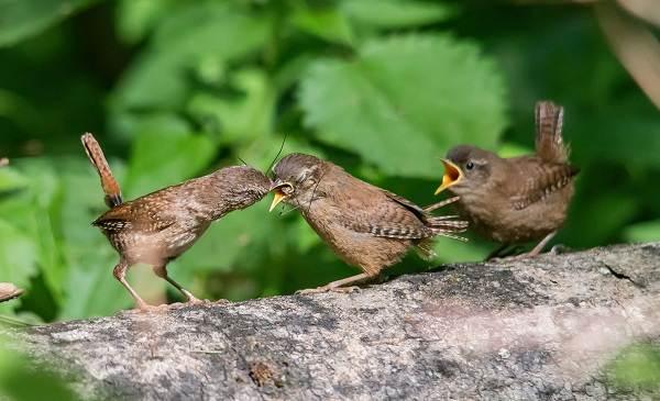 Крапивник-птица-Образ-жизни-и-среда-обитания-крапивника-13