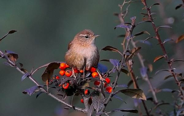 Крапивник-птица-Образ-жизни-и-среда-обитания-крапивника-4