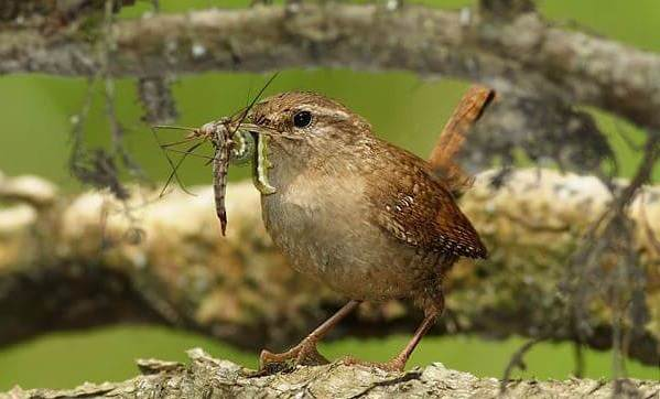 Крапивник-птица-Образ-жизни-и-среда-обитания-крапивника-5