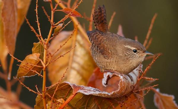 Крапивник-птица-Образ-жизни-и-среда-обитания-крапивника-8