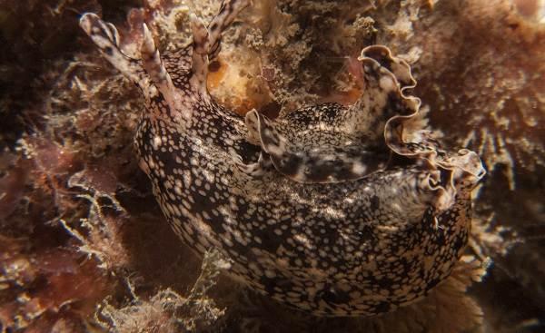 Морской-заяц-Описание-и-особенности-морского-зайца-10