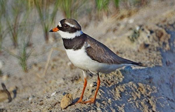 Перелетные-птицы-Названия-описания-и-особенности-перелетных-птиц-13