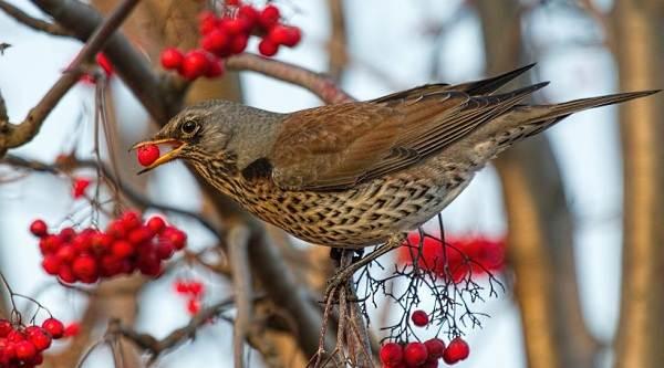 Перелетные-птицы-Названия-описания-и-особенности-перелетных-птиц-15