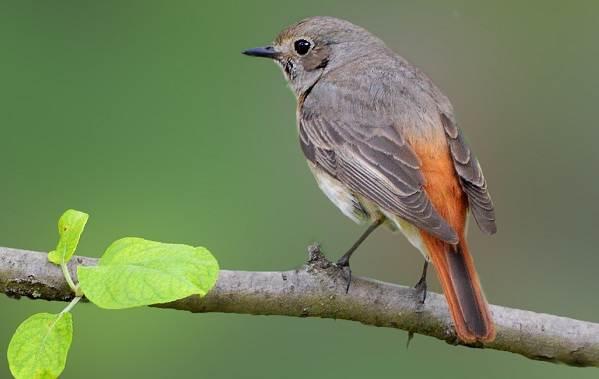 Перелетные-птицы-Названия-описания-и-особенности-перелетных-птиц-16