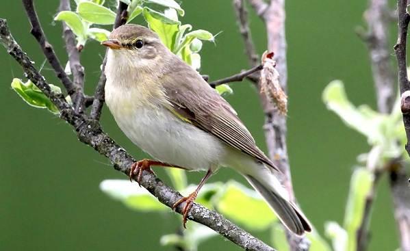 Перелетные-птицы-Названия-описания-и-особенности-перелетных-птиц-17