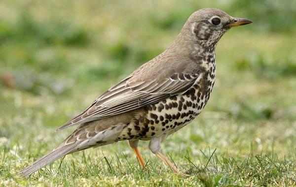 Перелетные-птицы-Названия-описания-и-особенности-перелетных-птиц-18