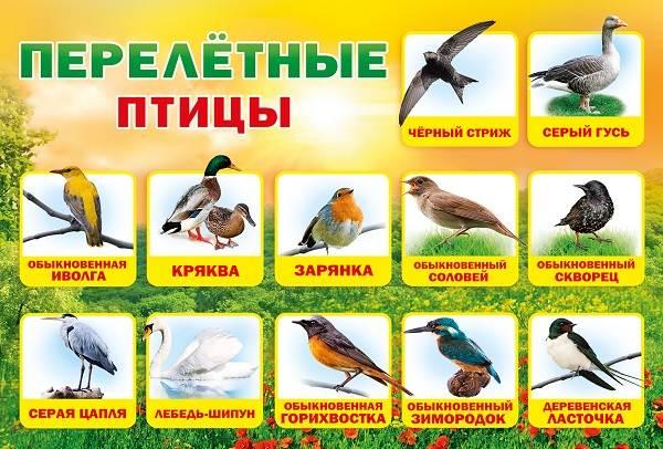 Перелетные-птицы-Названия-описания-и-особенности-перелетных-птиц-20