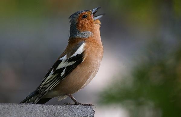 Перелетные-птицы-Названия-описания-и-особенности-перелетных-птиц-21