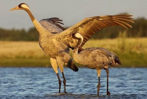 Перелетные-птицы-Названия-описания-и-особенности-перелетных-птиц-7