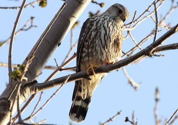 Птицы-Подмосковья-Названия-описания-и-особенности-птиц-Подмосковья-21