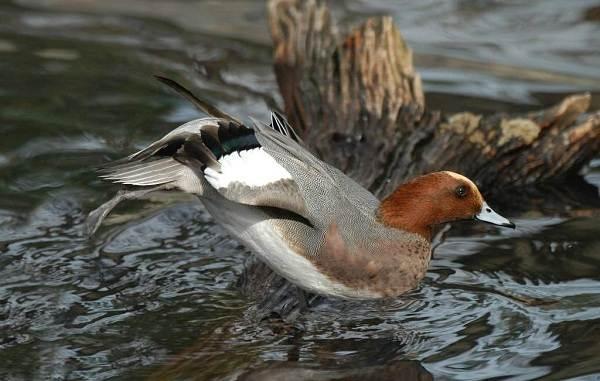 Птицы-Подмосковья-Названия-описания-и-особенности-птиц-Подмосковья-39