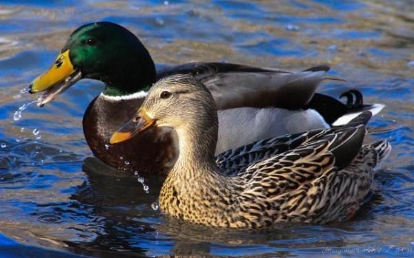 Птицы-Подмосковья-Названия-описания-и-особенности-птиц-Подмосковья-9