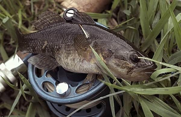 Ротан-рыба-Описание-особенности-и-среда-обитания-рыбы-ротан-10