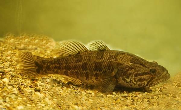 Ротан-рыба-Описание-особенности-и-среда-обитания-рыбы-ротан-3