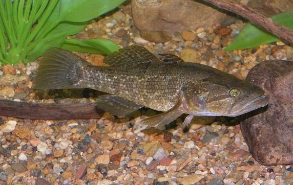 Ротан-рыба-Описание-особенности-и-среда-обитания-рыбы-ротан-4