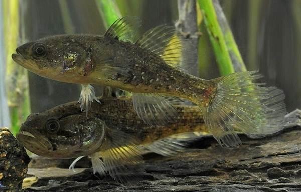 Ротан-рыба-Описание-особенности-и-среда-обитания-рыбы-ротан-5
