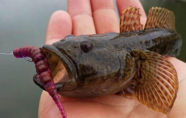 Ротан-рыба-Описание-особенности-и-среда-обитания-рыбы-ротан-6