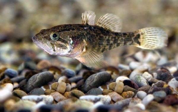 Ротан-рыба-Описание-особенности-и-среда-обитания-рыбы-ротан-8