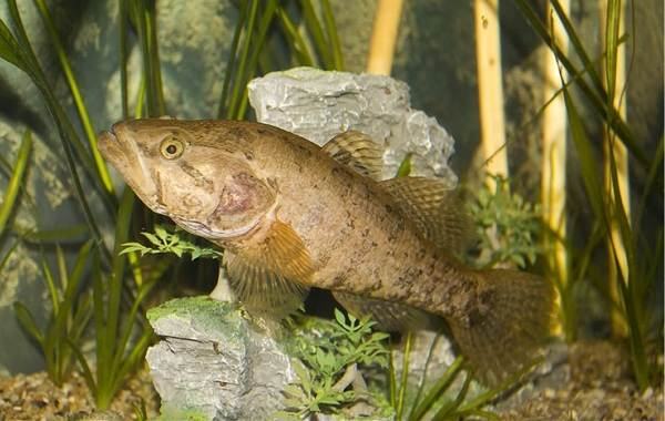 Ротан-рыба-Описание-особенности-и-среда-обитания-рыбы-ротан-9