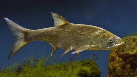 Рыба жерех. Описание, особенности и среда обитания жереха
