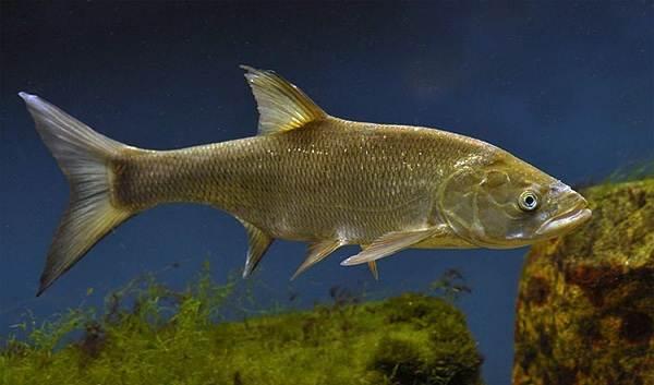 Рыба-жерех-Описание-особенности-и-среда-обитания-жереха-1