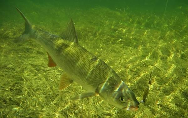 Рыба-жерех-Описание-особенности-и-среда-обитания-жереха-3