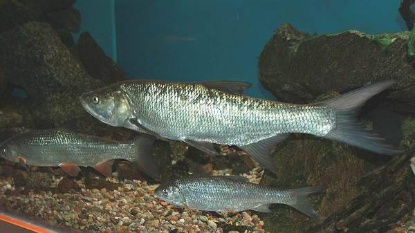 Рыба-жерех-Описание-особенности-и-среда-обитания-жереха-4