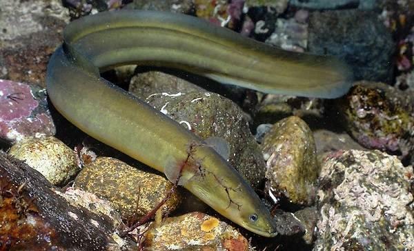 Рыбы-без-чешуи-Названия-описания-и-виды-рыб-без-чешуи-5