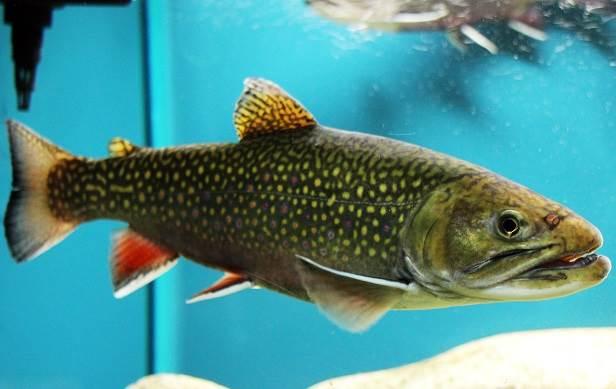 Рыбы-озер-Названия-описания-и-особенности-рыб-обитающих-в-озерах-11