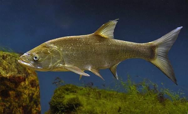 Рыбы-озер-Названия-описания-и-особенности-рыб-обитающих-в-озерах-13