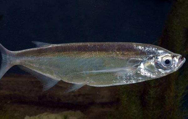 Рыбы-озер-Названия-описания-и-особенности-рыб-обитающих-в-озерах-15