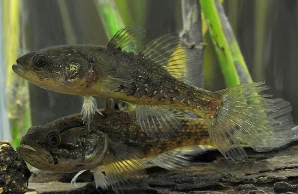 Рыбы-озер-Названия-описания-и-особенности-рыб-обитающих-в-озерах-17