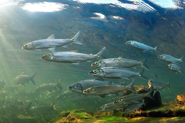 Рыбы-озер-Названия-описания-и-особенности-рыб-обитающих-в-озерах-2