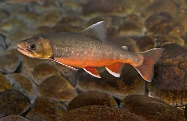 Рыбы-озер-Названия-описания-и-особенности-рыб-обитающих-в-озерах-20