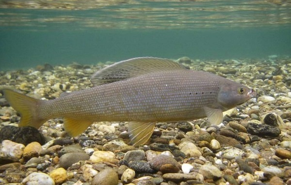 Рыбы-озер-Названия-описания-и-особенности-рыб-обитающих-в-озерах-21