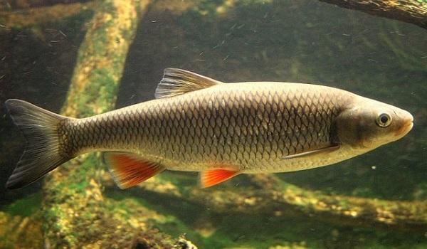 Рыбы-озер-Названия-описания-и-особенности-рыб-обитающих-в-озерах-23