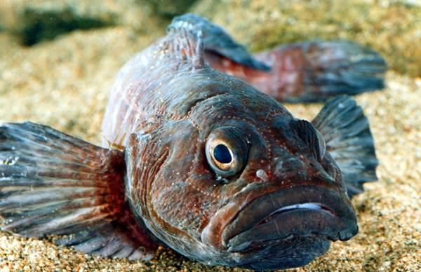 Рыбы-озер-Названия-описания-и-особенности-рыб-обитающих-в-озерах-4