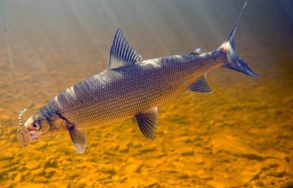 Рыбы-озер-Названия-описания-и-особенности-рыб-обитающих-в-озерах-5