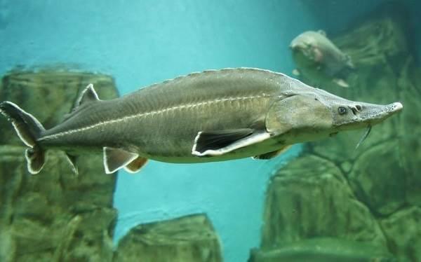 Рыбы-озер-Названия-описания-и-особенности-рыб-обитающих-в-озерах-6